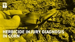 Agronomy Update: Herbicide Injury Diagnosis in Corn
