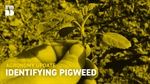 Agronomy Update: Identifying Pigweed