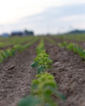 Agronomy Update: Late Planting Considerations