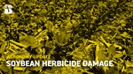 Agronomy Update: Soybean Herbicide Damage