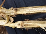 Agronomy Talk: Stalk Rot in Corn