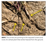 Agronomy Talk: SPRING FREEZE DAMAGE TO WINTER WHEAT