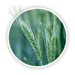 Agronomy Talk: PFR Proven Fungicides in Wheat