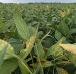 Agronomy Talk: Sudden Death Syndrome