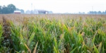 CropTalk: Talking Corn Quality Traits
