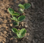 agronomy talk: SOYBEAN PLANTING DATE AND POPULATION