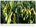 CropTalk: Assessing Corn Pollination: What Can We Learn?
