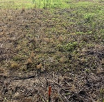Weed Management Brief: MARESTAIL BURNDOWN