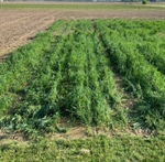 WEED MANAGEMENT BRIEF: Alternative solutions - Cover Crops