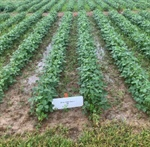 WEED MANAGEMENT BRIEF: ENLIST — POST-EMERGENCE