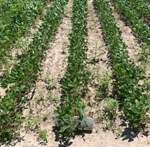 WEED MANAGEMENT BRIEF: ALTERNATIVE POST-EMERGE HERBICIDE OPTIONS