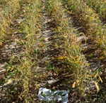 WEED MANAGEMENT BRIEF: NON-GMO CONTROL OPTIONS
