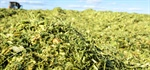 CropTalk: A PFR Sneak Peek: Corn Silage